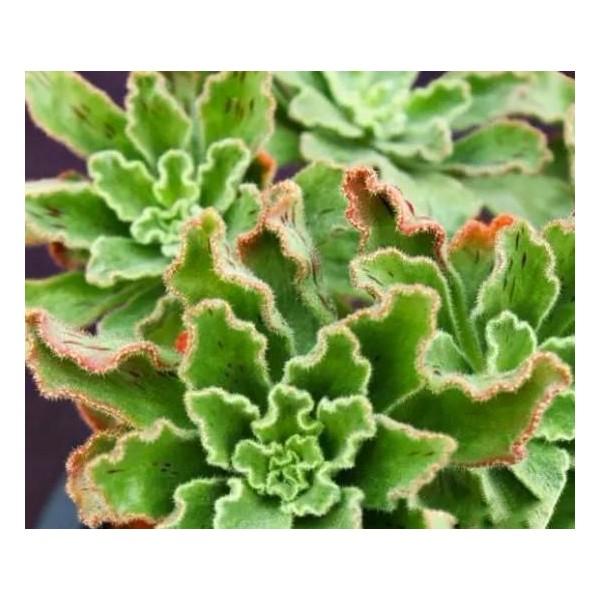 10 Graines Aeonium Smithii, Jardin Des Plantes Grasses, Des Mignons De Plantes Succulentes, Exotique - Photo n°3