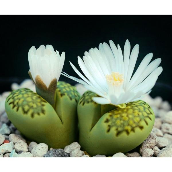 10 Graines De Lithops Julii Fulleri, Cadeau, Mignon Plantes Grasses, Exotiques Rares Succulentes Pla - Photo n°2