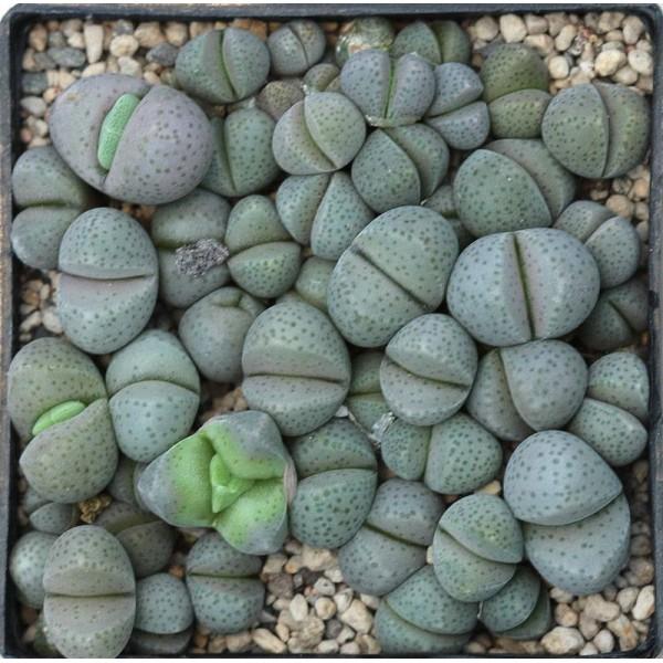 10 Graines Dinteranthus Puberulus, Jardin Des Plantes Grasses, Des Mignons De Plantes Succulentes, E - Photo n°4