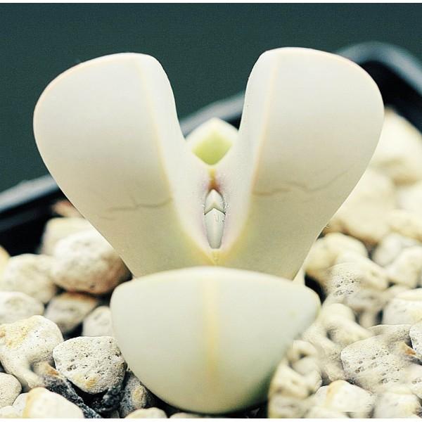 10 Graines Lapidaria Margaretae, Karoo Rose, Mignon Plantes Grasses, Exotiques Rares Succulentes Pla - Photo n°2