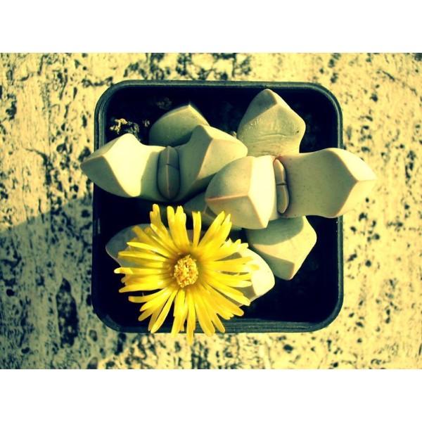 10 Graines Lapidaria Margaretae, Karoo Rose, Mignon Plantes Grasses, Exotiques Rares Succulentes Pla - Photo n°3