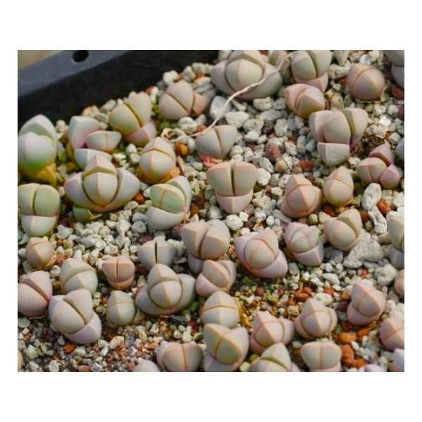 10 Graines Lapidaria Margaretae, Karoo Rose, Mignon Plantes Grasses, Exotiques Rares Succulentes Pla - Photo n°4