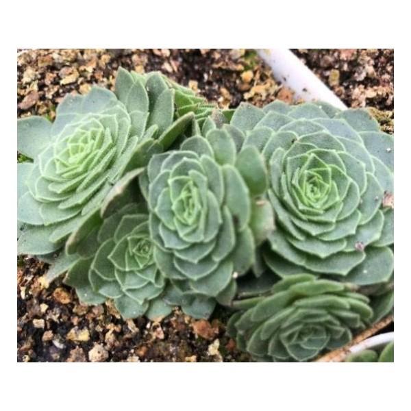 10 Graines De Greenovia Aizoon, Montagne Rose, Mignon Plantes Grasses, Exotiques Rares Succulentes P - Photo n°3