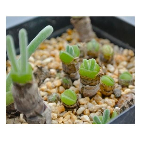 10 Graines Monilaria Moniliforme, Jardin Des Plantes Grasses, Des Mignons De Plantes Succulentes, Ex - Photo n°3