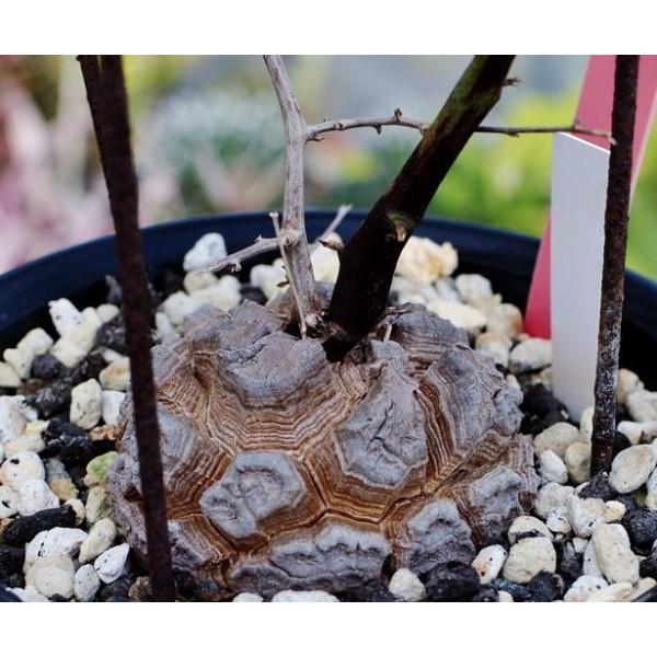 2 Graines Testudinaria Dioscorea Elephantipes, Exotiques Rares Succulentes Plantes À Fleurs Graines, - Photo n°5