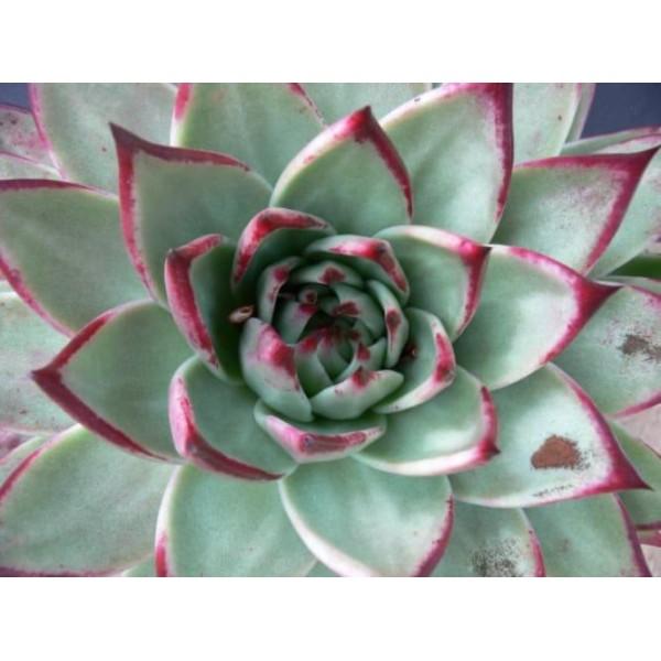 10 Graines De Echeveria Agavoides Ébène, Cadeau, Mignon Plantes Grasses, Exotiques Rares Succulentes - Photo n°2