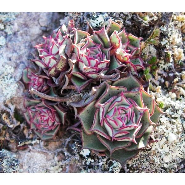 10 Graines De Echeveria Longissima, Jardin Des Plantes Grasses, Des Mignons De Plantes Succulentes, - Photo n°2