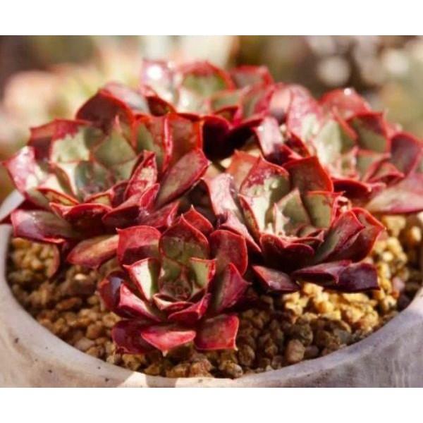 10 Graines De Echeveria Longissima, Jardin Des Plantes Grasses, Des Mignons De Plantes Succulentes, - Photo n°3