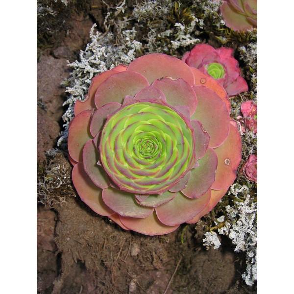10 Graines De Greenovia Aurea Tenerife, Montagne Rose, Mignon Exotiques Rares Succulentes Plantes À - Photo n°2