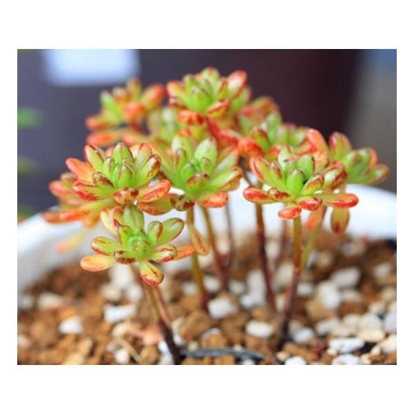 10 Graines Aeonium Sedifolium Nain Succulentes, Cadeau Mignon Pour Les Plantes Grasses Exotiques Rar - Photo n°3