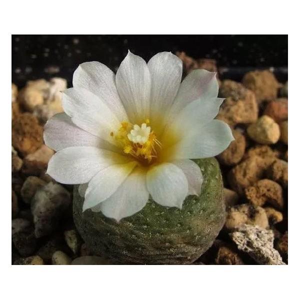 10 Graines De Blossfeldia Liliputana Minuscule Cactus, Cadeau Mignon Pour Les Plantes Grasses Exotiq - Photo n°2