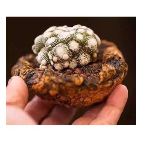 10 Graines De Blossfeldia Liliputana Minuscule Cactus, Cadeau Mignon Pour Les Plantes Grasses Exotiq - Photo n°3