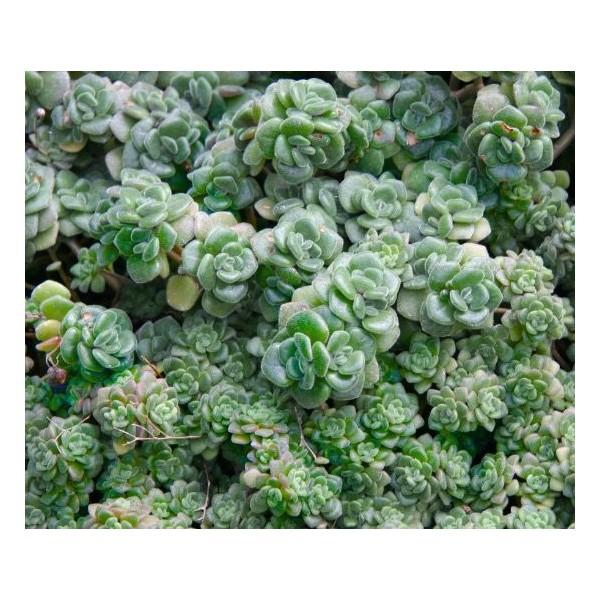 10 Graines Aichryson Bethencourtianum, L'Amour, La Chance De Fleur, Cadeau Mignon Pour Les Plantes G - Photo n°2