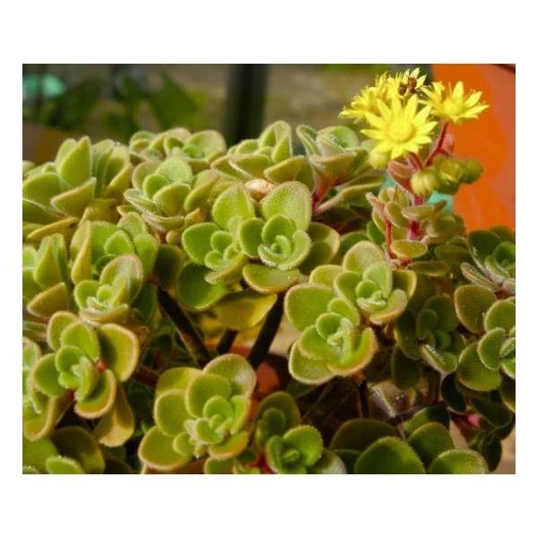 10 Graines Aichryson Bethencourtianum, L'Amour, La Chance De Fleur, Cadeau Mignon Pour Les Plantes G - Photo n°3