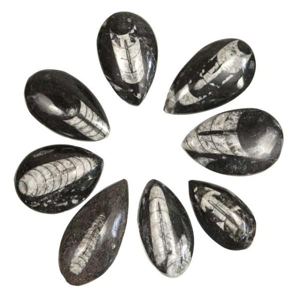 Orthoceras fossile poli - A l'unité - Taille 7 à 9 cm. - Photo n°1