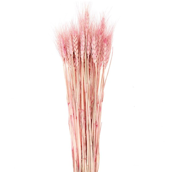Fleurs séchées - Blé rose - 50 pcs - Photo n°3