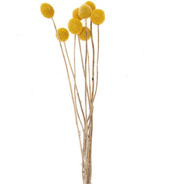 Fleurs séchées - Craspedia - 55 cm environ - 10 pcs - Photo n°3