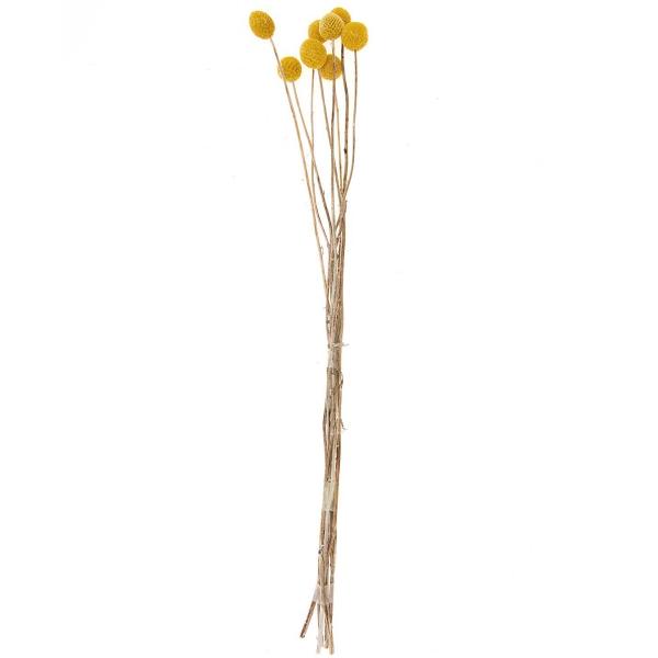 Fleurs séchées - Craspedia - 55 cm environ - 10 pcs - Photo n°1