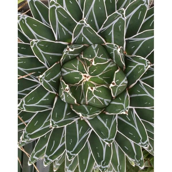 10 Graines Agave Victoriae Reginae V Compact El Amparo, Jardin Succulentes, Mignon Succulentes, Exot - Photo n°2